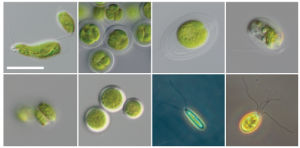 Some of the microscopic green algae associated with salamander eggs.